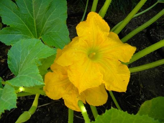 Zepher squash blossoms